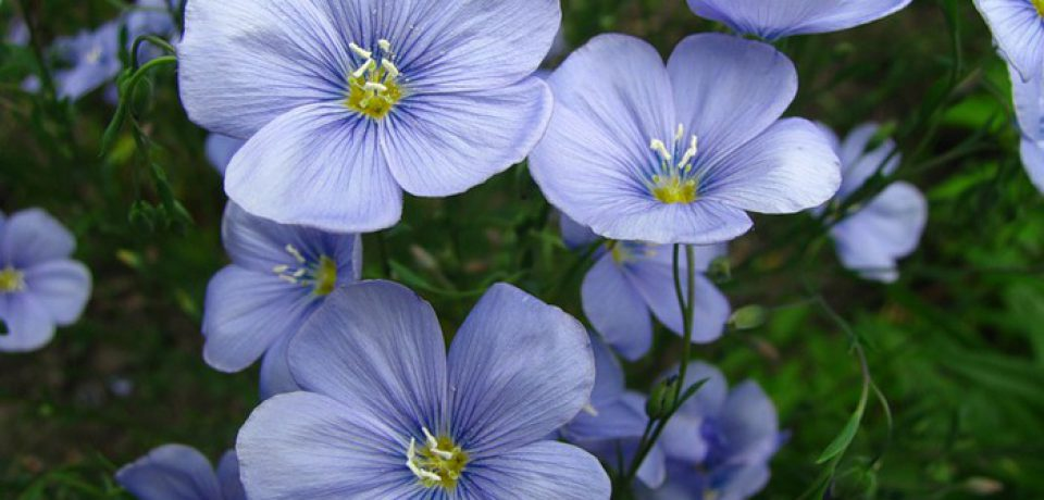 Семя льна: его польза и применение